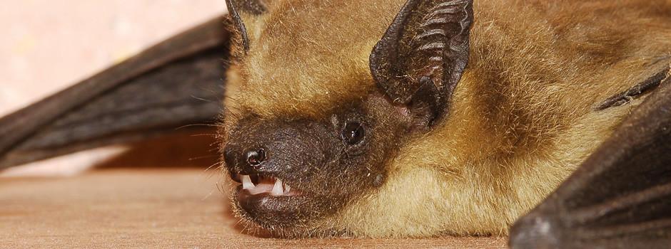 bat-removal